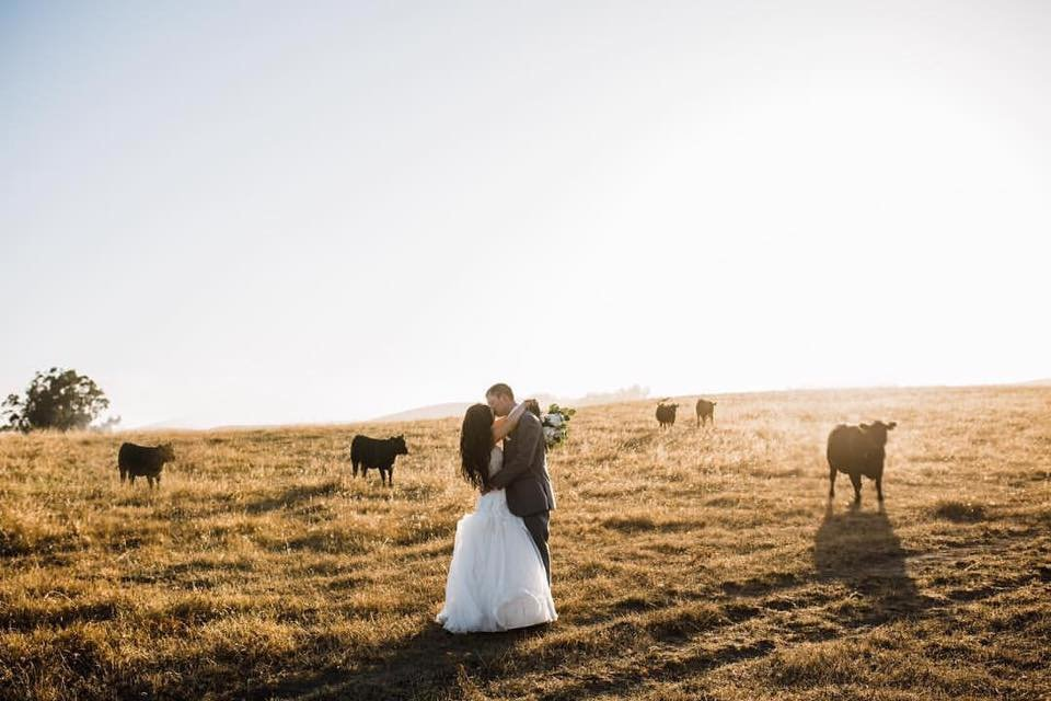 the haven at tomales ranch wedding cows bride groom